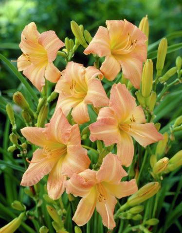 Цветки сильно-гофрированные