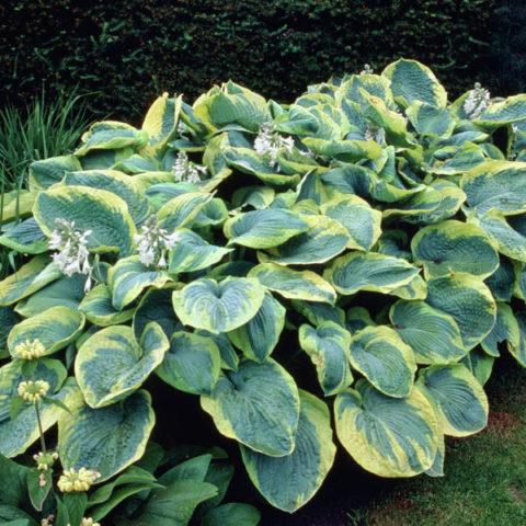 Красивое растение с толстыми складчатыми сердцевидными листьями