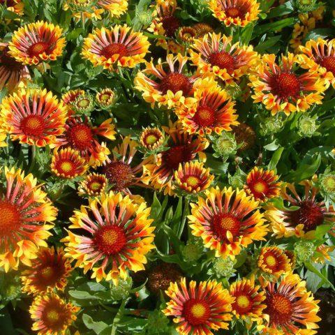 Сорт с оранжево-красными краевыми цветками