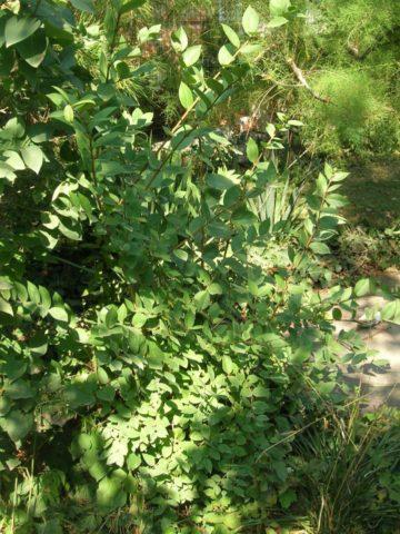 Листопадный кустарник