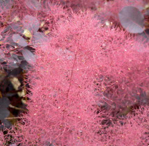 Пурпурные листья