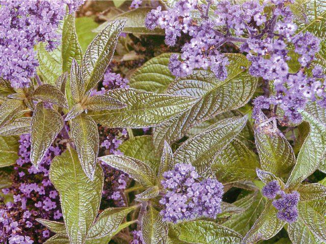 Соцветия, состоящие из ярко-фиолетовых цветков