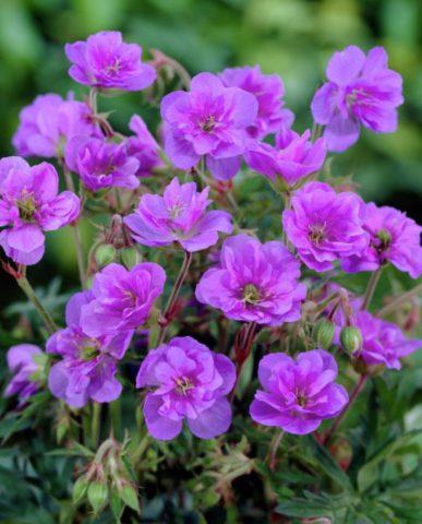 Много мелких махровых цветков