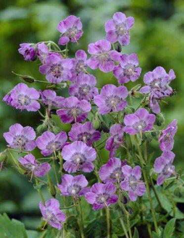 Цветки мелкие, темные