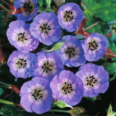 Цветки округлые, чашевидные, чисто-голубые