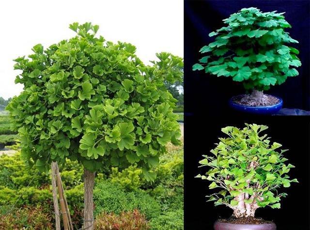 Зимостойкое, медленно растущее дерево