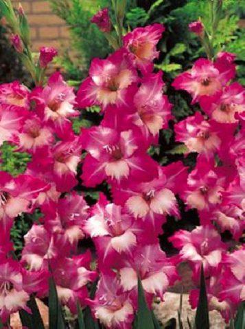 Цветки светло-рубиновые