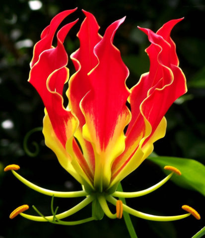 Цветки яркие, оранжево-красные