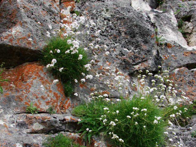 Цветущие ветви с белыми или розовыми цветками