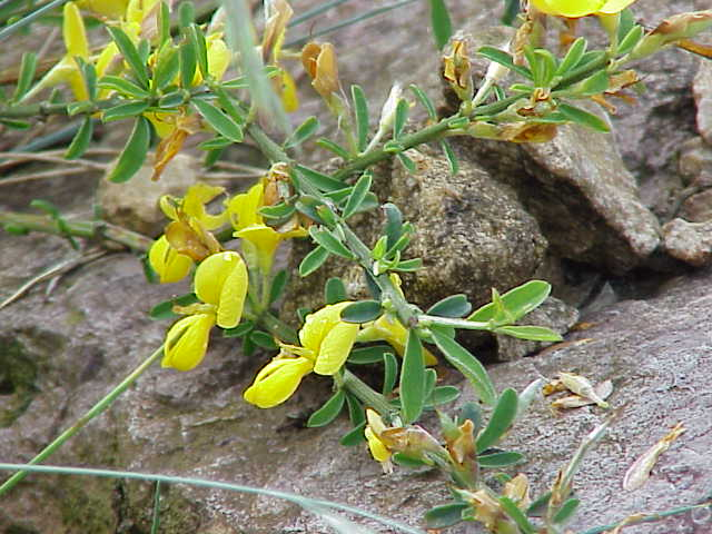 Кустарник, образующий вдоль облиственных стеблей множество одиночных цветков