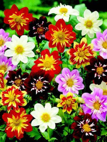Смесь цветков разной окраски