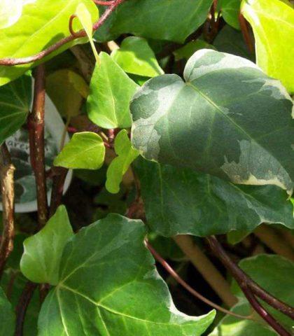 Очень пестрые светло-зеленые листья