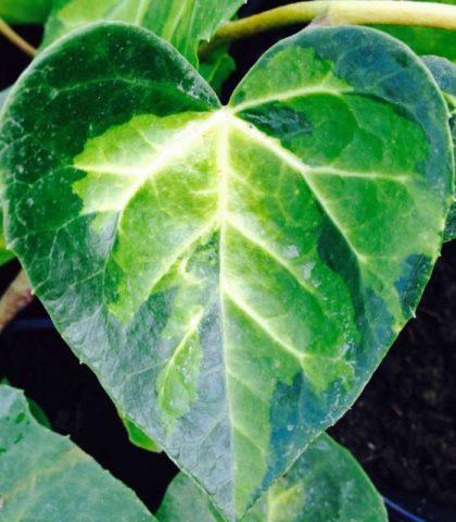 Сорт несет листья с четкими желтыми пятнами