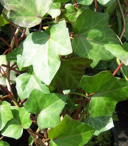 Компактное растение с широкосердцевидными темно-зелеными листьями до 10 см длиной