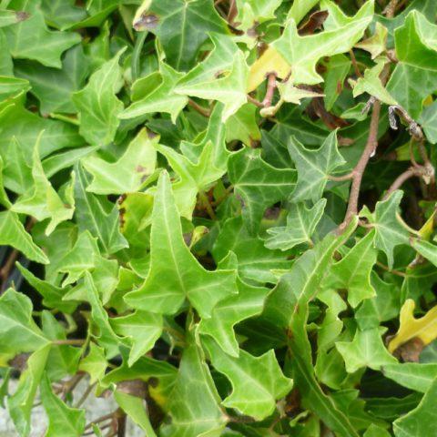 Глубокорассеченные листья до 5 см длиной