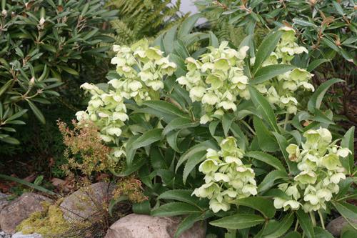 Цветки чашевидные, яблочно-зеленые