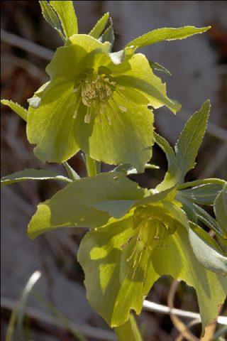 Чашевидные душистые желтовато-зеленоватые цветки