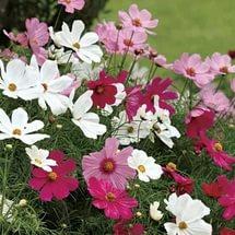 Белые язычковые цветки