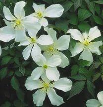 Цветки имеют приятный запах