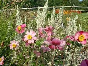 Цветки розово-красные, с кремово-зелеными тычинками