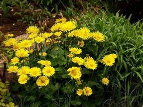 Гибрид с крупными золотисто-желтыми соцветиями