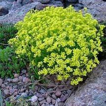 Зимостойкое растение с темно-желтыми цветками