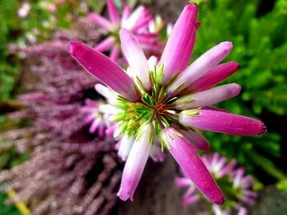 Цветки розовато-лиловые, 8 мм длиной