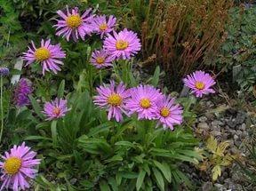 Розово-сиреневые цветки