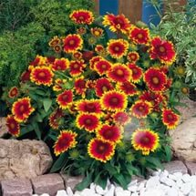 Желтые язычковые краевые цветки