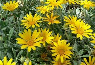Соцветия желтые