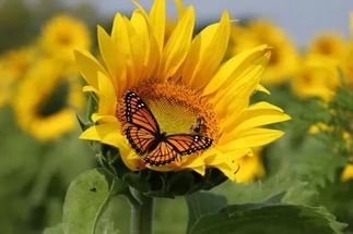 Сорт формирует золотистые полумахровые цветки