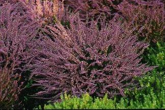 Цветки фиолетово-розовые, махровые