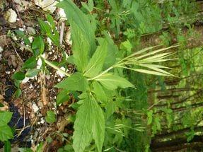 Листья состоят из трех, иногда 4- 5 зубчатых заостренных листочков