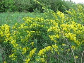 Цветки светло-желтые, появляются в изобилии