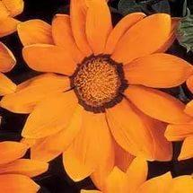 Сорт имеет оранжевые соцветия