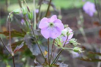 Светлые розово-фиолетовые цветки