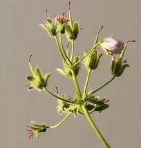 Невысокое альпийское растение, образующее заросли