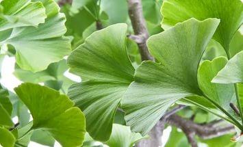 Растение с плакучими ветвями