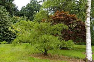 Дерево с конической кроной