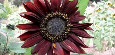 Сорта имеют красные и темно-желтые соцветия