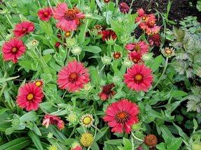 Темные винно-красные язычковые цветки