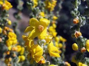 Цветки бледно-желтые