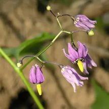 Соцветия фиолетовые, с выступающим желтым диском