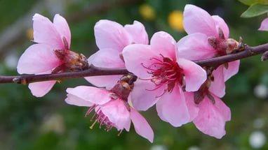 """""""Peach Blossom"""""""
