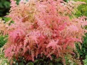 Листья бронзового оттенка и розовые цветки