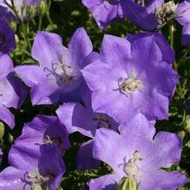 Цветки небесно-голубые