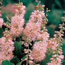 Цветки с розовым оттенком