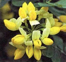 Лимонно-желтые цветки