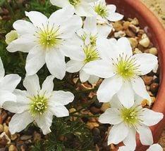 Весной подушки из резных листьев покрываются кремово-белыми, оттененным зеленым цветками