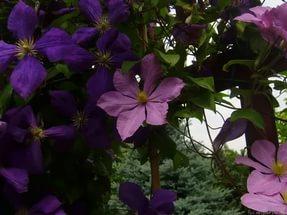 Это высокое, обильно цветущее растение